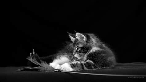 telecharger papier peint bureau gratuit 1920x1080 cat wallpaper hd 1920x1080 images de