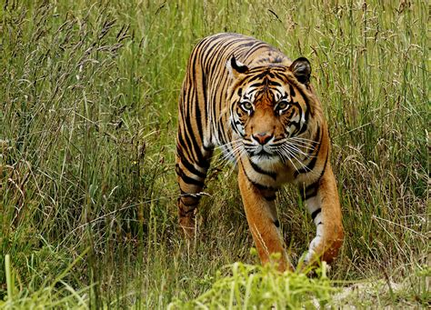 Tiger Photo by Tiger Free Stock Photo Domain Pictures