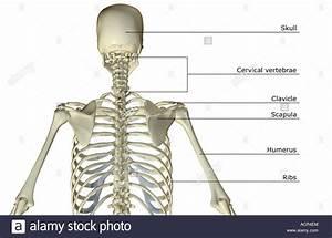 The Bones Of The Upper Body Stock Photo  13213483