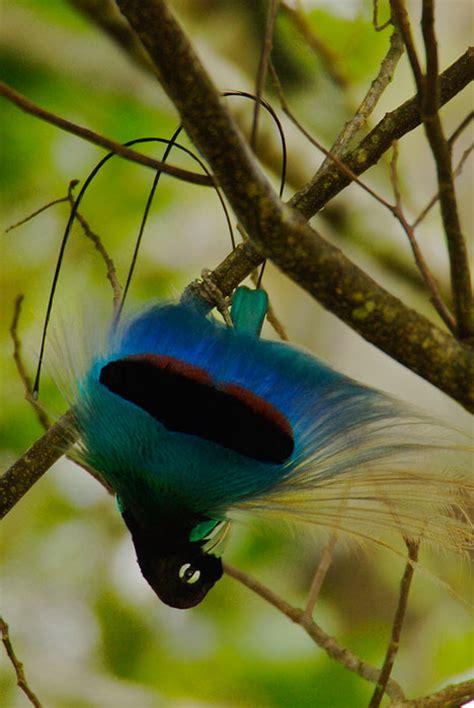bird of paradise bird of paradise fun animals wiki videos pictures stories