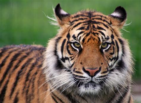Tiger Photo by The Meaning And Symbolism Of The Word 171 Tiger 187