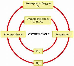 Draw A Labelled Diagram To Show The Oxygen Cycle In Nature