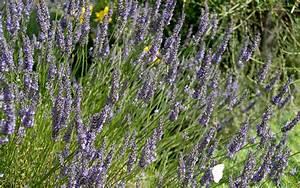 Lavendel Sorten übersicht : lavendel 39 maillette 39 pflanze lavandula angustifolia duftpflanzen r hlemann 39 s kr uter und ~ Eleganceandgraceweddings.com Haus und Dekorationen