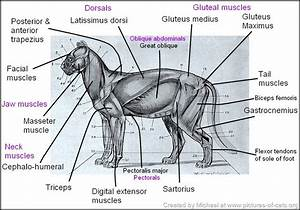 Cat Anatomy Facts For Kids