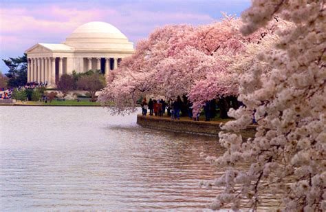 washington dc cherry blossoms life  real estate