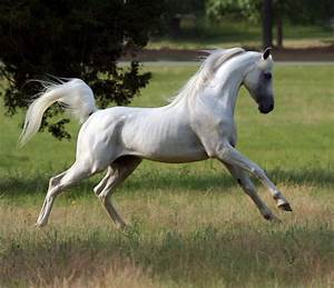 Arabian Horse | Breed Guide | HorseClicks