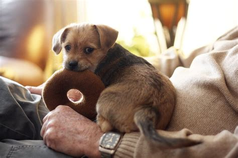 cute terrier puppy  toy  stock photo public