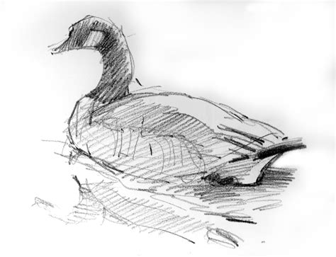 north american bird sketches drawing  motmot