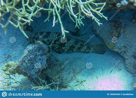 greasy epinephelus grouper arabian lurks facing prey upward rather mouth thick wide een opwaartse mond prooi dik brede nogal hebben