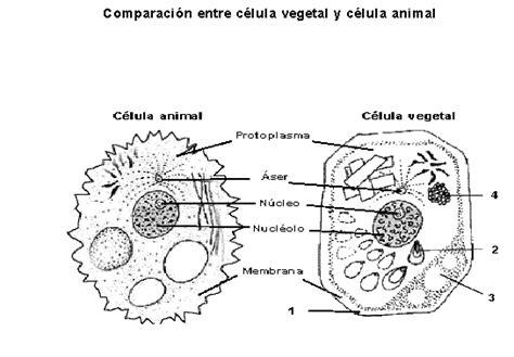 Celula eucariota animal para dibujar Imagui