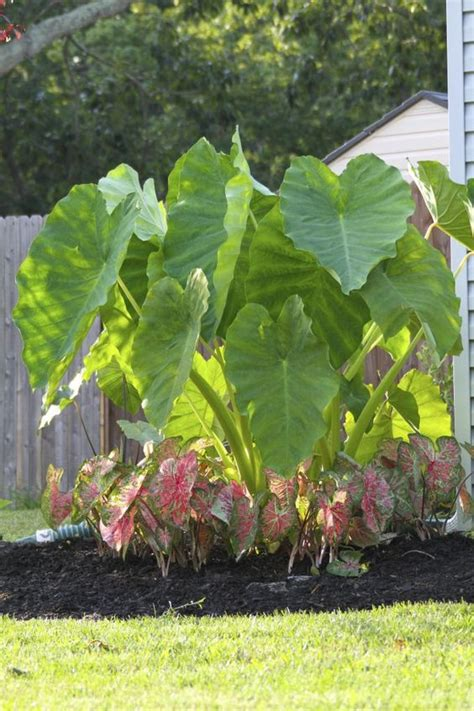 how to plant a elephant ear bulb gardens elephant ears and in the garden on pinterest