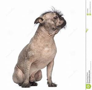 Hairless Mixed-breed Dog, Mix Between A French Bulldog And ...