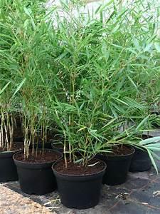 Bambus Als Zimmerpflanze : bambus pflanzenshop fargesia robusta 39 campbell 39 kaufen ~ Eleganceandgraceweddings.com Haus und Dekorationen