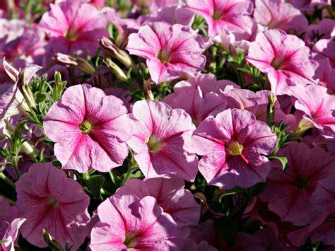 flowers petunias wallpapers pink petunia flowers wallpapers