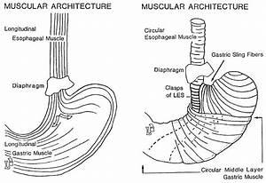 Esophageal Sphincter Diagram