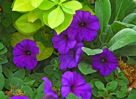 types of annual plants talinum flower types of talinum