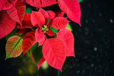 weihnachtsstern wieder zum blühen bringen weihnachtsstern dunkel stellen 187 wann und warum macht das