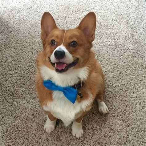 bow tie tuesday  daily corgi