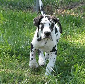 Harlequin Great Dane puppy 11 weeks old | Awwwwdorable ...