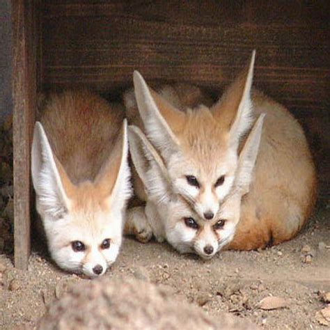 cutest fennec foxes   world xcitefunnet