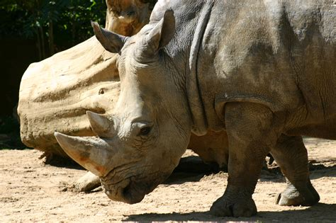 rhino wallpapers pictures images