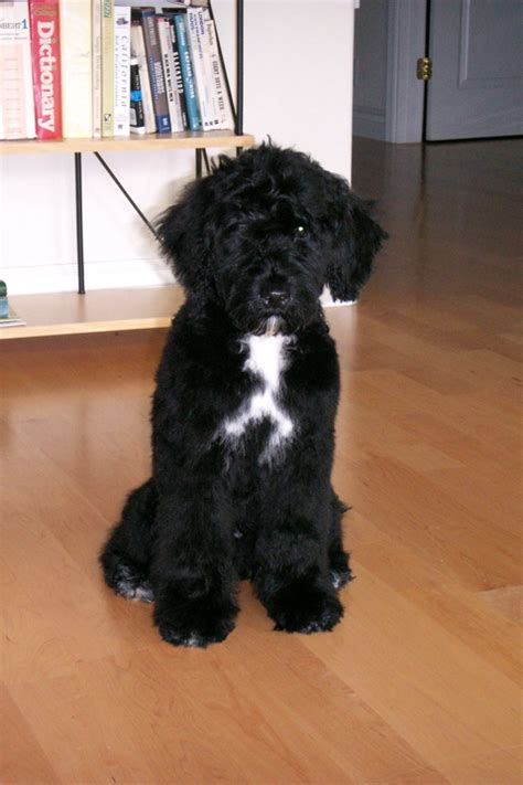 portuguese water non shedding breeds hypoallergenic option portuguese water puppy