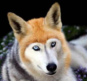[Request] Can someone make a fox/husky hybrid? : picrequests