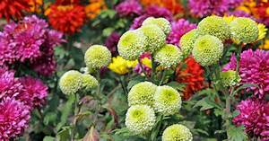 Herbstblumen Für Kübel : herbstblumen bunte bl ten gegen die herbstdepression mein sch ner garten ~ Buech-reservation.com Haus und Dekorationen
