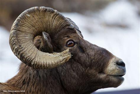 do bighorn sheep shed their horns cunningham outdoors llc