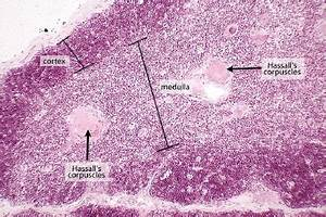 Thymus Gland Slide Labeled   thymus in this low power view ...