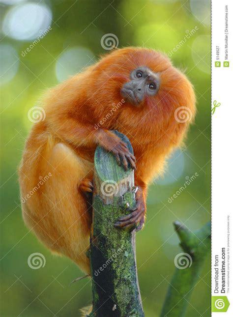 golden lion tamarin stock image image  ginger monkey