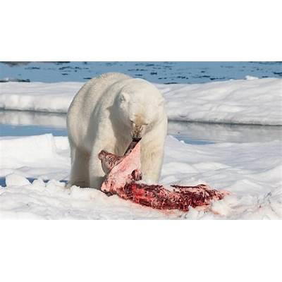 Myth bashing: Bears are not ferocious flesh-eaters