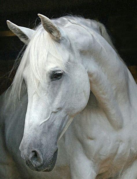 horse face head andalusian horses mare stallion dog google tica cavalli pretty arabian bellissimi heads cheval cavalos animals animais visage