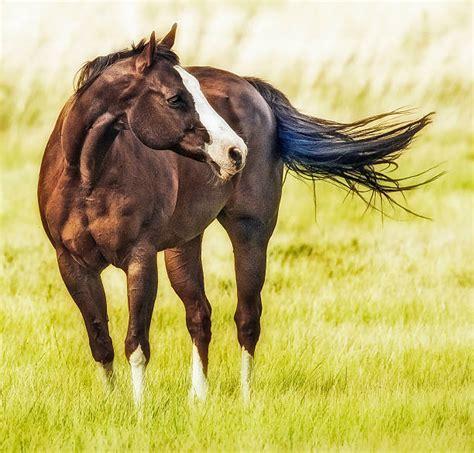 horse quarter royalty