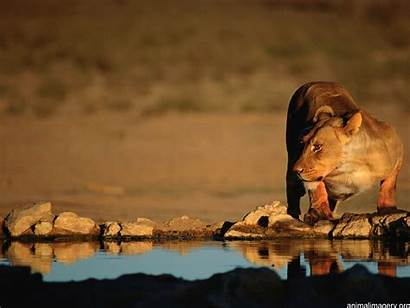 Wallpapers Lion Lions African Animal Wild