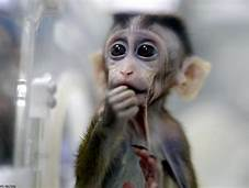 Scientists are making human-monkey hybrids in China…