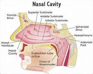 Diagram Of Nasal Cavity
