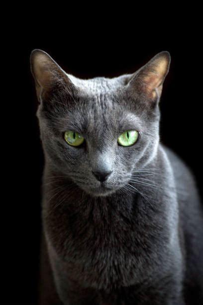 russian cat purebred looking