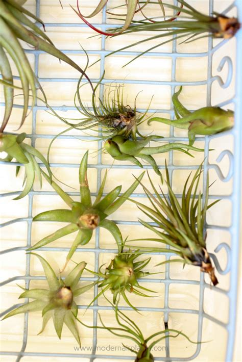air plants watering the secret to watering air plants is easier than you think