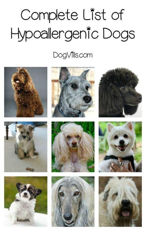 breed shedding complete list of hypoallergenic breeds