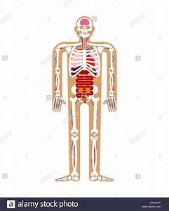 Human Anatomy System  Skeleton And Internal Organs