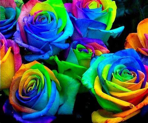 rainbow rose seeds gardening seed