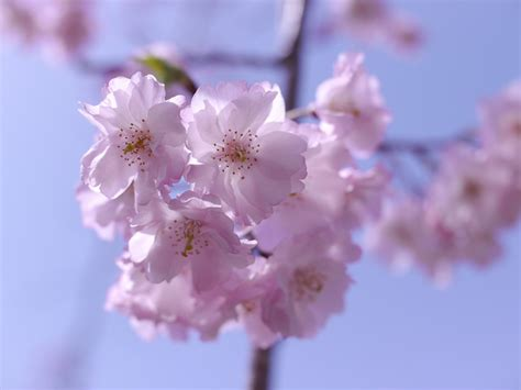 japanese trees with pink flowers free photo pink cherry flowers free image on pixabay 65379
