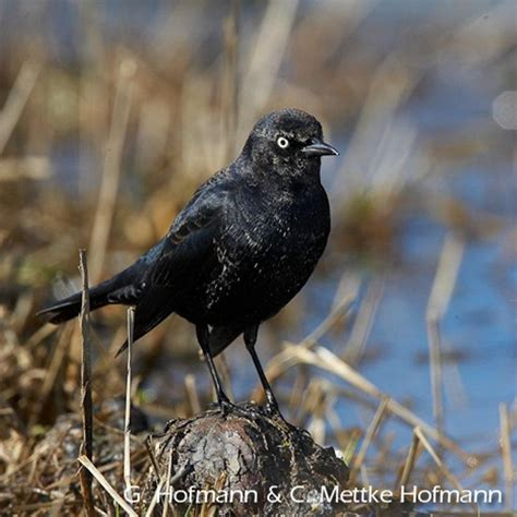 rusty blackbird blitz  iowa iowa public radio