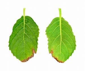 Hortensien Blätter Werden Braun : kletterhortensie bekommt braune bl tter eine krankheit ~ Lizthompson.info Haus und Dekorationen