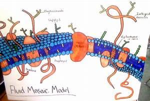 Biology 101  Fluid Mosaic Diagram