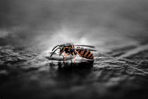 wespen im winter wespen im winter wie 252 berwintern die insekten wespen ratgeber de