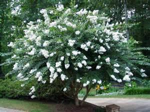 White Crepe Myrtle Varieties