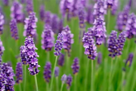lavender plants benefits of lavender plant dale candela cosm 233 tica natural con aceite de argan