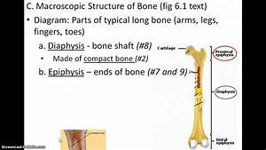 Diagram Of The Long Bone